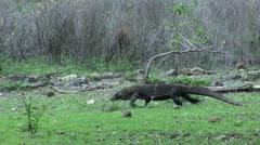 Komodo dragon walking past Javan rusa deer Stock Footage