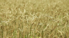 Spikelets of wheat in the field Stock Footage