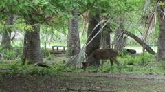 Javan rusa deer in the forest of Komodo Island, Indonesia Stock Footage