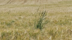 Wheat in the wind in Bavaria Germany Stock Footage