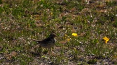 Meadow Pipit in Norway Stock Footage