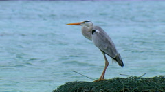 Close up of Heron (Bird) with sea  in background Stock Footage