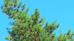 Stock Video Footage of A lot of brown pine cones on a branch