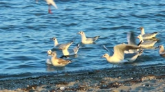 Gulls on the beach fight for food Stock Footage