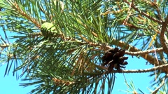 Green and brown pine cones on a branch Stock Footage
