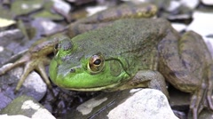Frog closeup on rivers edge Stock Footage