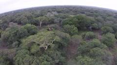 Aerial Footage of Giraffes running between the trees. Stock Footage