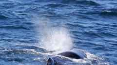 Male sperm whale in norway Stock Footage