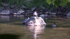 Common Merganser resting on rock Stock Footage