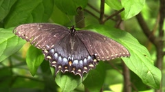 Spicebush Swallowtail closeup - stock footage