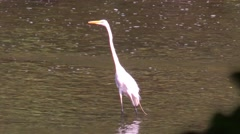 Great Egret in breeding plumage flies away - stock footage