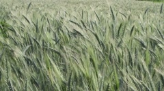 Green Barley Field Strongly Caressed by Wind, Steady Shot, Nature Background HD Stock Footage
