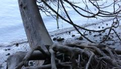 Pan of northwest roots on beach Stock Footage