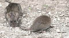 Stock Video Footage of Two rats foraging for food.