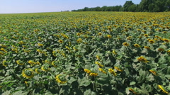 Aero Flight over the sunflower field sunny day - stock footage