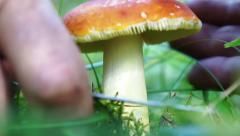 Picking mushrooms in the forest. Mushroom hunting. Siberia. Taiga. Stock Footage