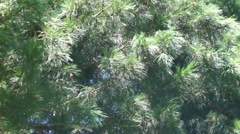 Siberian cedar branches moving in the wind. Siberia. Taiga. Stock Footage