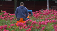 Gardeners working at the pink roses in Berlin Stock Footage