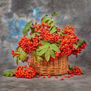 Still rowan berries in the basket. Autumn concept Stock Photos