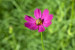 Cosmos flower with bee - stock photo