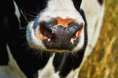 Nose cow - stock photo