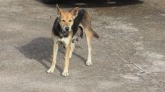Homeless dog in downtown, Sakon Nakhon Thailand Stock Footage