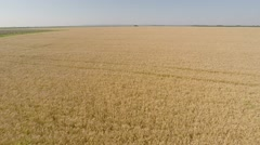 Barley Field aerial view - front, move forward, higher height, more speed HD - stock footage