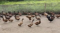 Domestic Duck in farm Stock Footage
