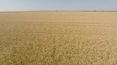 Barley Field aerial - front view, moving backward, low altitude, more speed HD - stock footage