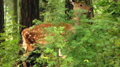 Wild Deer looks up in the wood. ProRes HQ codec. Stock Footage
