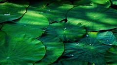 Lotus Leaves With Droplets And Shadows Stock Footage