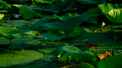 Lotus Leaves With Droplets And Breeze, Pan Stock Footage