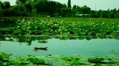 Lotus Leaves And Flowers On  Lake, Pan Stock Footage