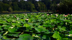 Lotus Leaves And Flowers (Nelumbo Nucifera) On Lake, Pan Stock Footage