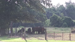 Cows in pasture under shade tree Stock Footage