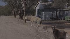 Australian outback sheep and goat look for water in town during drought Stock Footage