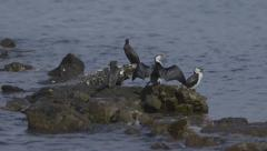 Australian Pied Cormorant bird stretches wings on rock by water - stock footage