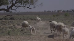 Sheep muster with border collie sheepdog on Australian outback farm - ungraded Stock Footage