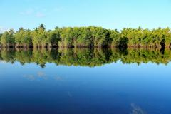 Mangrove forest topical rainforest - stock photo