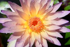 Close-up of waterlily on tropical garden Stock Photos