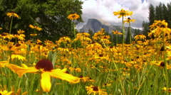 Half Dome over Carpet of Yellow Flowers In Yosemite National Park -Long Shot- Stock Footage