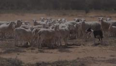 Stock Video Footage of Sheep herded by border collie dog in dry bushland, outback NSW, Australia