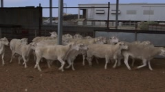 Sheep move through wool shearing pens during round-up - stock footage