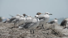 Flock of seagulls Stock Footage