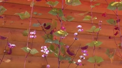 Flowers of decorative beans are swinging in the wind Stock Footage