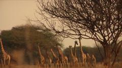 Curious Girafffes Neck Swinging Stock Footage