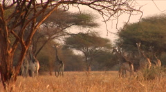 Lowveld Zimbabwe Curious Girafffe Leaving Stock Footage