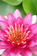 Red water lily with lotus leaf on pond - stock photo