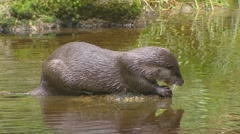 European otter (lutra lutra) in pond and dives into water Stock Footage
