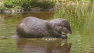 Stock Video Footage of European otter (lutra lutra) in pond and dives into water